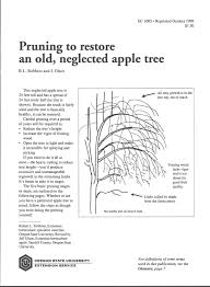pruning to restore an neglected apple tree osu extension