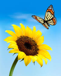 nature background with sunflower and butterfly stock vector