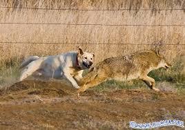 Coyote In My Backyard Farm Dog Versus Wile E Coyote
