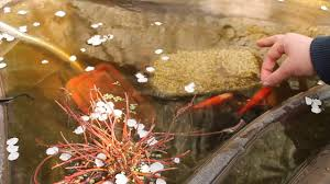 pesci alimentazione pesci alimentazione e litigio per il cibo la primavera laghetto