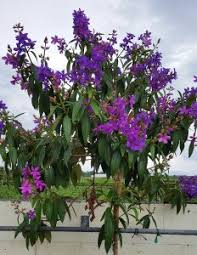 tree with purple flowers purple tree florida nursery mart