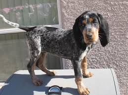 videos of bluetick coonhounds bauman u0027s bulletproof blue hank page 2 biggamehoundsmen com