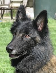 belgian shepherd wanted yatzee tail wagging dogs