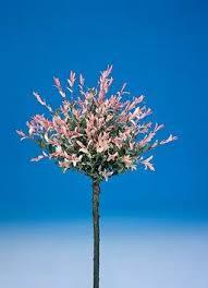 salix integra flamingo uspp 17490 copf new plants from pride