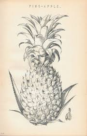 drawn pineapple vintage pencil and in color drawn pineapple vintage