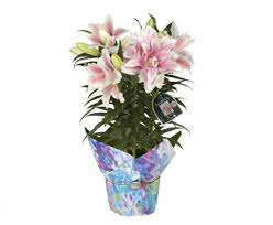 Lilies Flowers Hana Bay Flowers Lilies And Lily Care