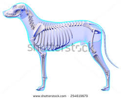Dog Anatomy Heart Dog Skeleton Anatomy Stock Illustration 254619679 Shutterstock