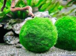 amazon com 6 marimo moss ball variety pack 4 different sizes of