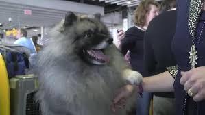 american eskimo dog vs keeshond keeshond breed information