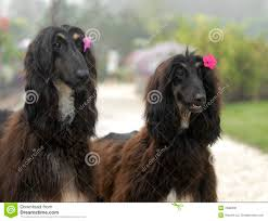 afghan hound collie mix two border collie dogs and one puppy royalty free stock images