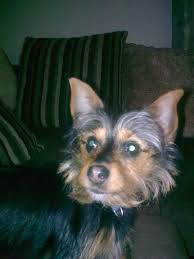 australian shepherd yorkie yorkie russell information pictures reviews and q u0026a