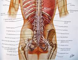 Human Anatomy And Physiology Notes Notes On Anatomy And Physiology Spinal Stenosis The Tiger U0027s Mouth