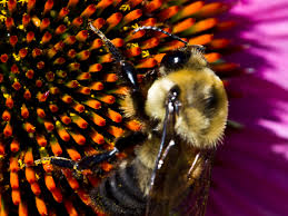 bumble bees prevention control u0026 facts about bees