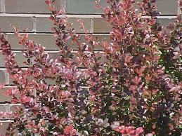 shrubs for oklahoma gardens