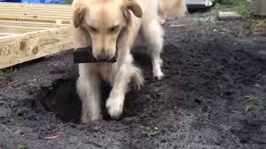 golden retriever digging a hole youtube