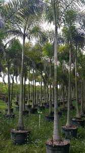 hedging plants budget wholesale nursery wholesale plant nursery florida foxtail palm tree wholesale