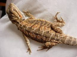 nw england bearded dragons royal red normal 11 12 weeks