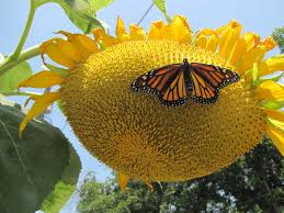 in the butterfly garden time to harvest sunflower seeds here u0027s