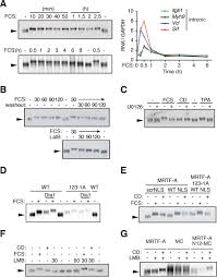 phosphorylation acts positively and negatively to regulate mrtf a