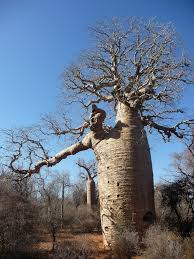 trees are also native plants gap year blog into the wild the worlds weirdest plants