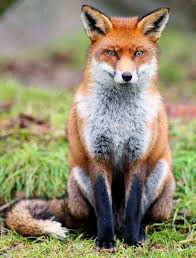 Mississippi wildlife images Mammal mississippi state land mammal red fox amazing wildlife jpg