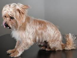 pictures of shorkie dogs with long hair shorkie tzu dogs pinterest shorkie tzu fur babies and dog