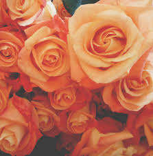 fresh orange roses ready for autumn the online flower expert