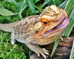 bearded dragon care bearded dragon behavior