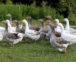 34 best geese images on farm animals poultry and ducks