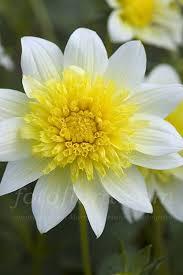 116 best flowers dahlia images on pinterest beautiful flowers