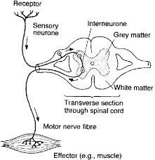 Knee Reflex Arc Patellar Reflex Pathway Google Meklēšana Anatomija