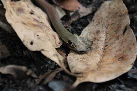 snake i d snakeout