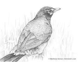 american robin pencil sketch bohan art