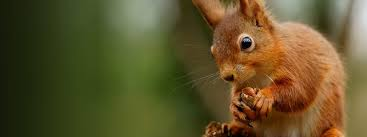 saving scotland u0027s red squirrels