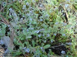 australis plants australian native plants myosotis australis