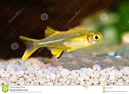 celebes rainbow fish marosatherina ladigesi rainbowfish aquarium