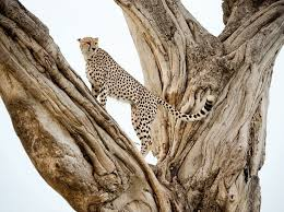 affectionate cheetahs wallpapers 85 best cheetahs images on pinterest baby cheetahs wild animals