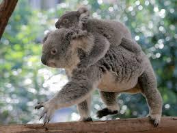 koala river cruise mirimar cruises tour queensland