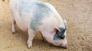 how to control a pig u0027s rooting behavior howcast the best how