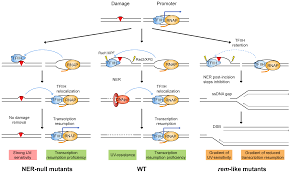 the rem mutations in the atp binding groove of the rad3 xpd
