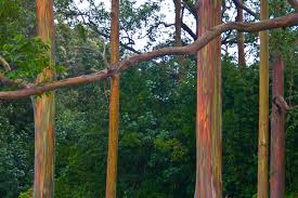 Rainbow Eucalyptus Real Monstrosities Rainbow Eucalyptus
