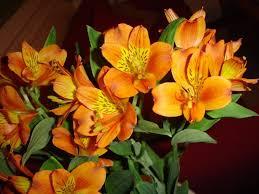 Alstroemeria Flowers 101 Alstroemeria Popsugar Home