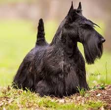 Scottish Terrier Grooming Bathing And Care Espree Animal Products