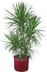 dracaena shackelford botanical designs dracaena marginata