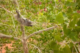 Cottonwood Tree Flowers - facts about cottonwood trees