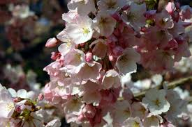 National Cherry Blossom Festival by Book Early For The National Cherry Blossom Festival And Save
