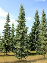 spruce trees treetime ca