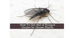 How To Get Rid Of Flies In The Backyard by How To Get Rid Of Fungus Gnats On House Plants