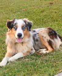 australian shepherd zucht deutschland black tri with blue eyes awesome blue eyed pups pinterest