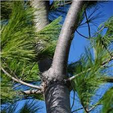 white pine tree eastern white pine tree on the tree guide at arborday org